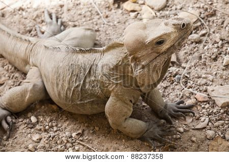 Rhinoceros Iguana, Lizards In The Family Iguanidae