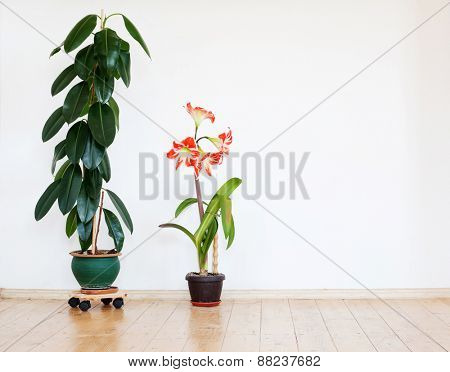 Green home plant ficus in flowerpot. Interior background