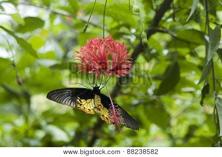 Butterfly hanging upside down feeding on red flower