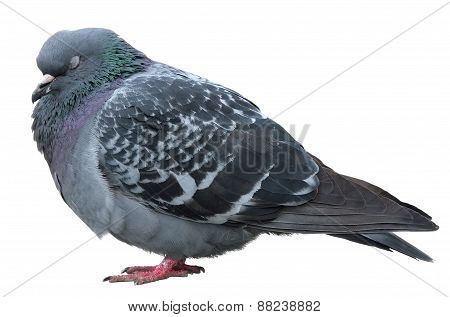 Sleeping dove. Grey dove isolated on white background. Feral Pigeon