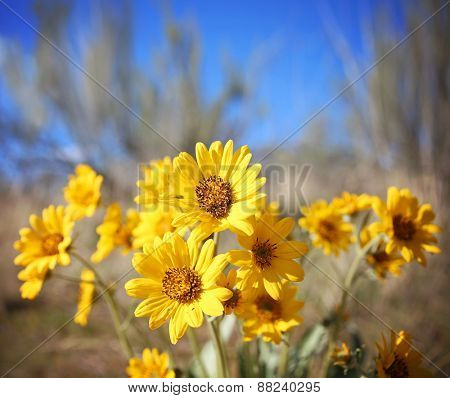 a bunch of pretty balsamroot flowers on a sunny hill during summer or spring