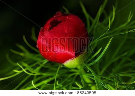 beautiful, red, alpine garden peony