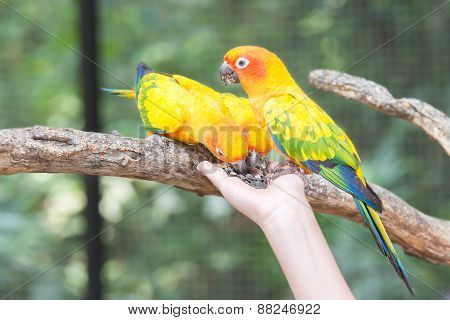Beautiful Sun Conure Parrot Eating From A Hand
