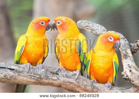 Lovely Sun Conure Parrot On The Perch