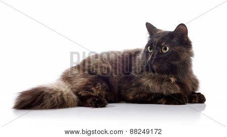 The Fluffy Domestic Cat