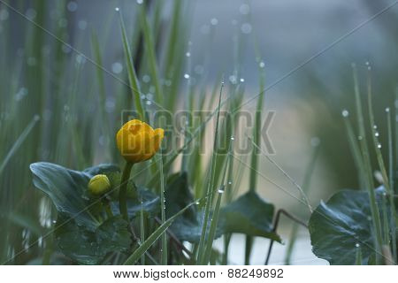 Caltha palustris, marsh-marigold or kingcup under the rain, Vosges, France