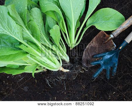 Fresh  Green Vegetable Leaves With Gardening Tool In Home Garden Farm Use For Natural Clean Food And