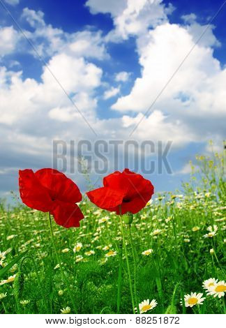red poppy flowers meadow landscape