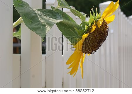 Sunflower On White Fence