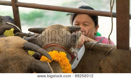 Woman Feed Little Buffalo With Water