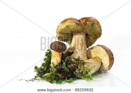 mushroom penny bun (Boletus edulis)
