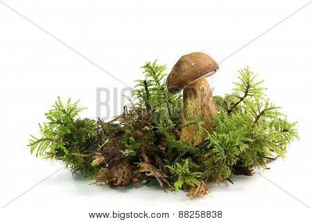 Young Bay Bolete (Boletus badius) Mushroom