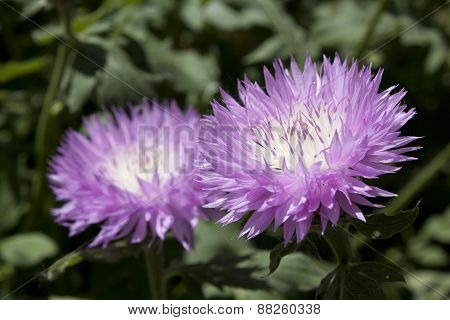 Couple Of Musky Purple Cornflowers