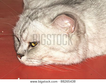 Big Gray Cat