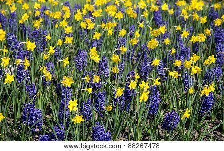 Ornamental garden with daffodils and hyacinths