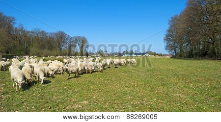 Herd of sheep in a sunny meadow