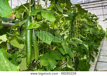 Long Cucumbers Growing In A Glasshouse