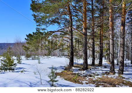 Spring Thawed Patches In The Forest