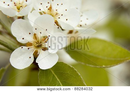 Flower pear