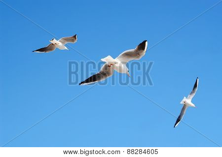 Flying Seagulls In Blue Sky.