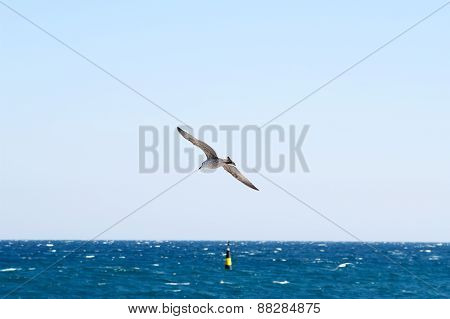 Seagull Soars Over Sea.