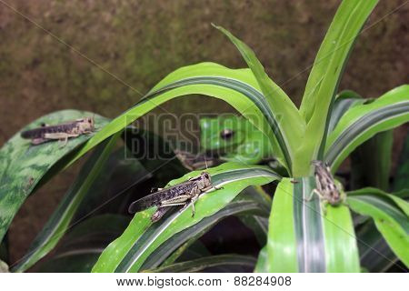 Locust And Its Predator - Wallaces Flying Frog (rhacophorus Nigropalmatus)