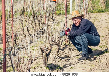 Senior man pruning grape in vineyard, active retirement, selective focus