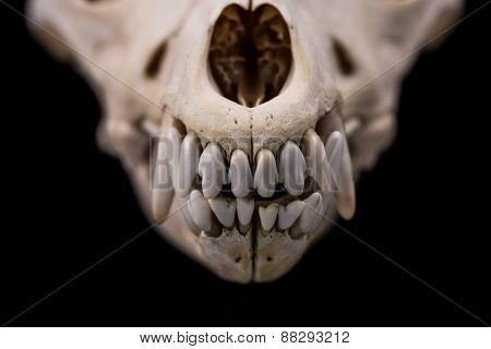 Animal skull, clouse-up.