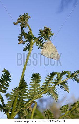 Butterfly Perched Over A Common Bracken