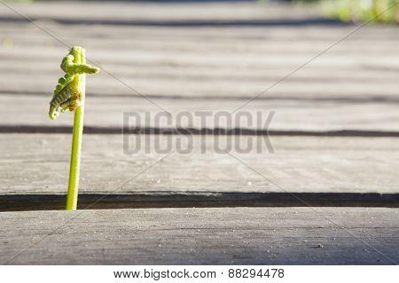 Common Bracken Sprout
