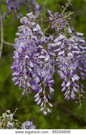 Purple and Lavender Wisteria Blossoms