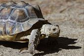 picture of spurs  - African spurred tortoise sprinting on the desert floor in southern California - JPG