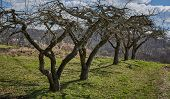 picture of row trees  - A row of old apple trees in an orchard on springtime - JPG