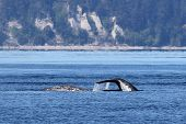 picture of whale-tail  - A pair of Gray Whales in the Puget Sound - JPG