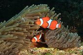 image of clown fish  - Nemo fish  - JPG