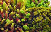 stock photo of lichenes  - Macro shoot of green moss and lichen - JPG