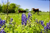 picture of bluebonnets  - Texas bluebonnets in front of a rural pasture with cattle in the background - JPG