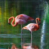 foto of pink flamingos  - Two pink flamingos stand in the water with reflections - JPG