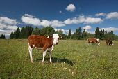 foto of calves  - Calf on green grass and cows near the forest - JPG