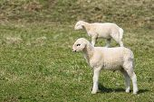 pic of counting sheep  - Lambs grazing on a green pasture - JPG
