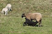 image of counting sheep  - Sheep and lambs grazing on a green pasture - JPG