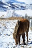 picture of brown horse  - Portrait of a brown Icelandic horse in front of snowy mountains - JPG