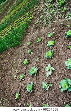 Kitchen Garden With Cabbage,  Seedlings And Young Greens
