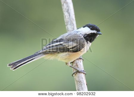 Perching Black Capped Chickadee