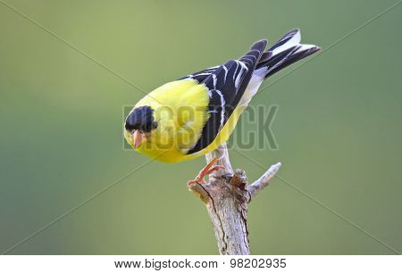 Perched Male American Goldfinch