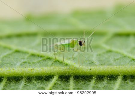 Little Green Insects  And Green Leaf