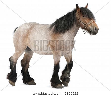 Belgian Horse, Belgian Heavy Horse, Brabancon, A Draft Horse Breed, 5 Years Old, Standing In Front O