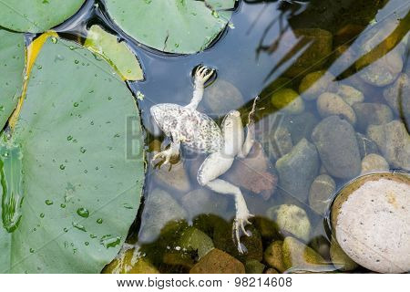 A Dead Frog in a Pond
