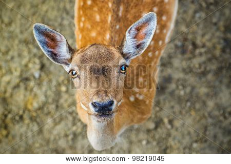 Beautiful Young Fallow Deer