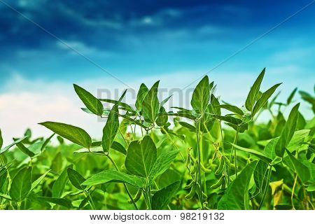 Soybean Crops In Field With Blue Sky
